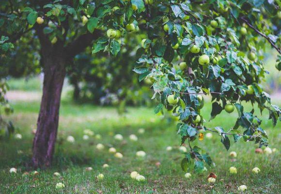 Как удобрять плодовые деревья в саду