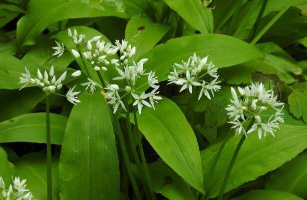Черемша или Медвежий лук (Allium ursinum)