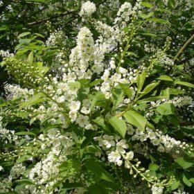 Галезия (Halesia) или Ландышевое дерево