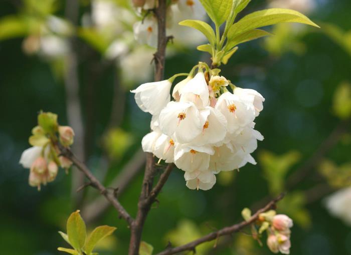 Фото цветов Галезии