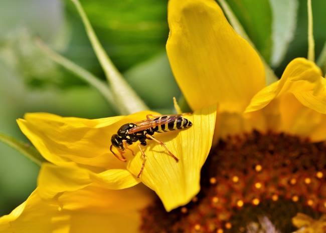 фото полезные насекомые в саду: Оса обыкновенная