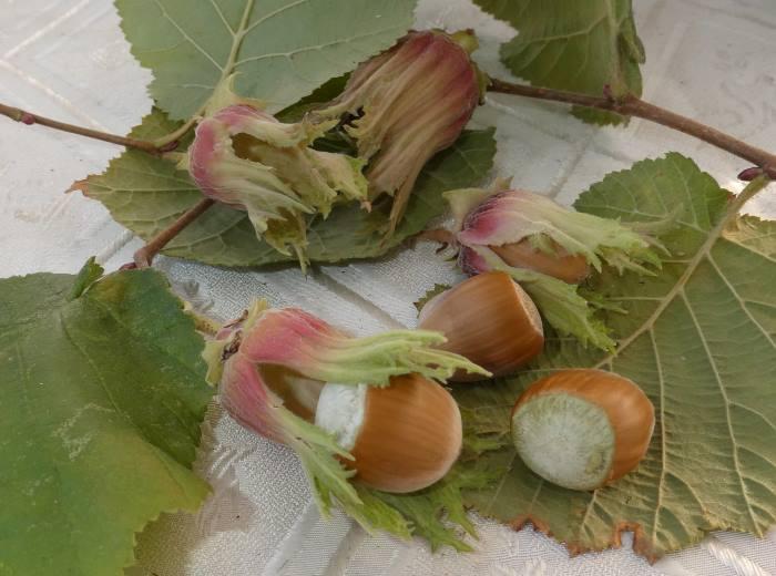 Плоды, или орехи Фундука