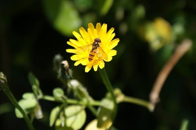 Полезное насекомое Журчалка
