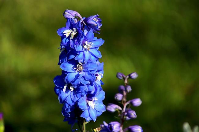 Фото синие цветы Дельфиниума