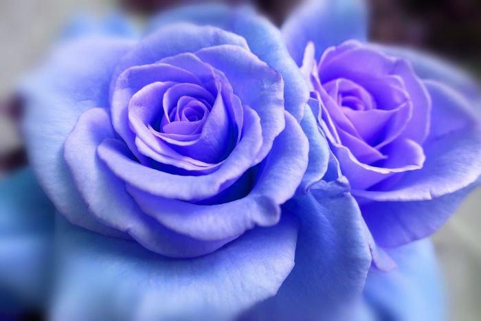 Фото Синие цветы розы