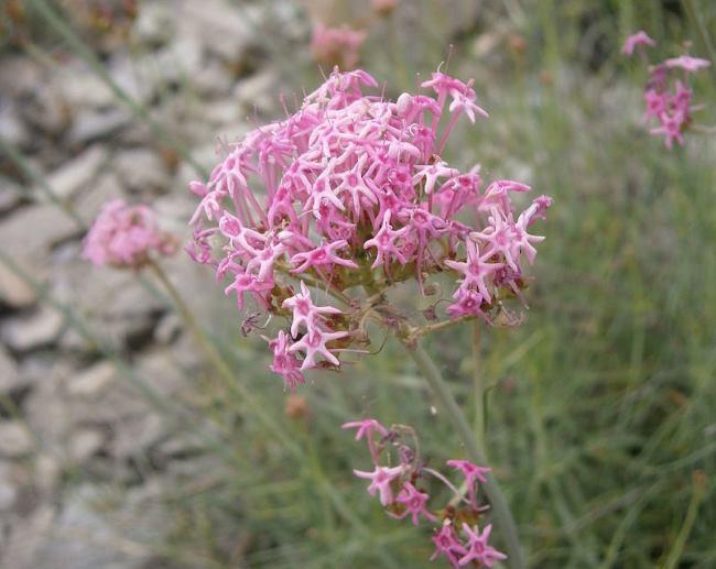 Многолетние растения цветущие все лето: фото Кентрантуса