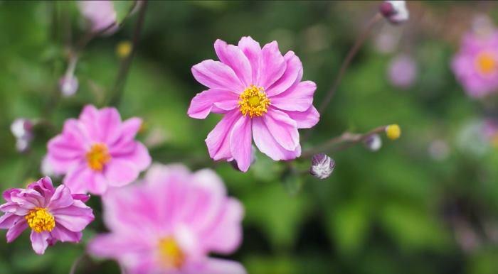 Фото розовых цветов Анемоны японской