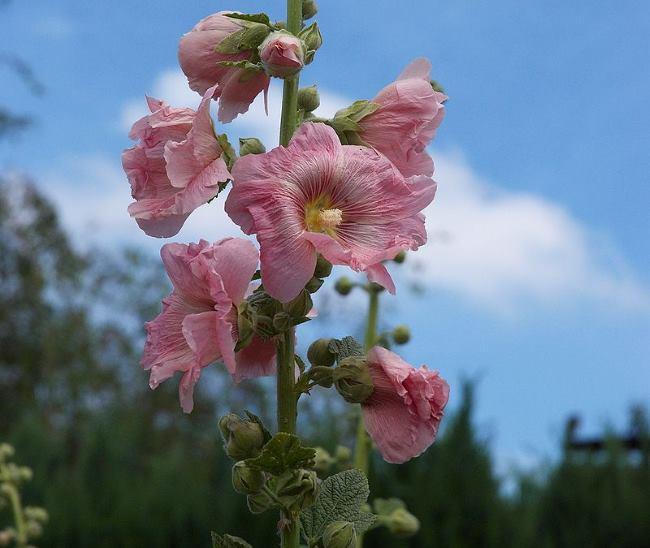 Мальва (Шток-роза)