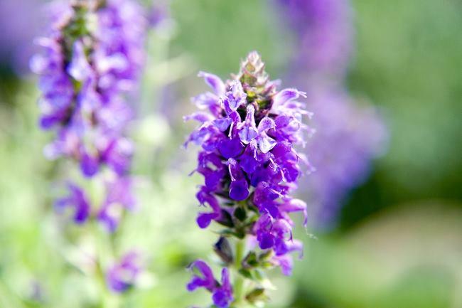 Многолетние растения цветущие все лето - Шалфей дубравный (сальвия дубравная)