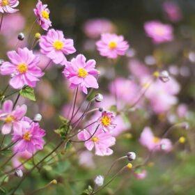 Цветок Анемона японская