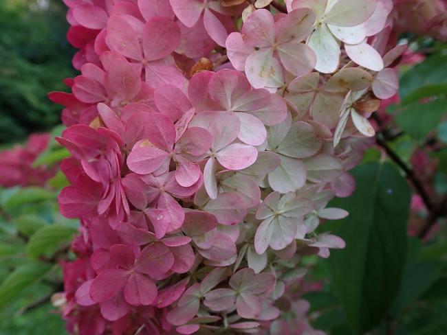 Фото цветков Гортензии метельчатой Сандей Фрайз
