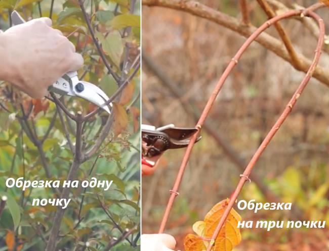Фото схемы обрезки Гортензии метельчатой осенью